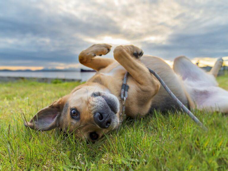 Ein Hund wälzt sich auf einer Wiese