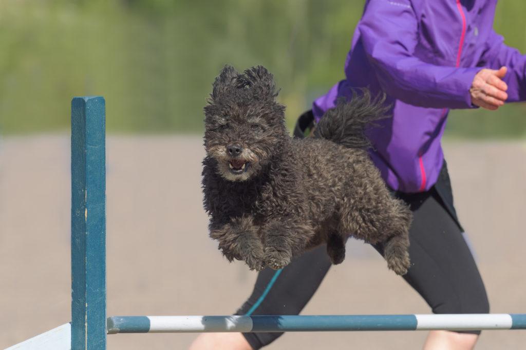 pumi agility