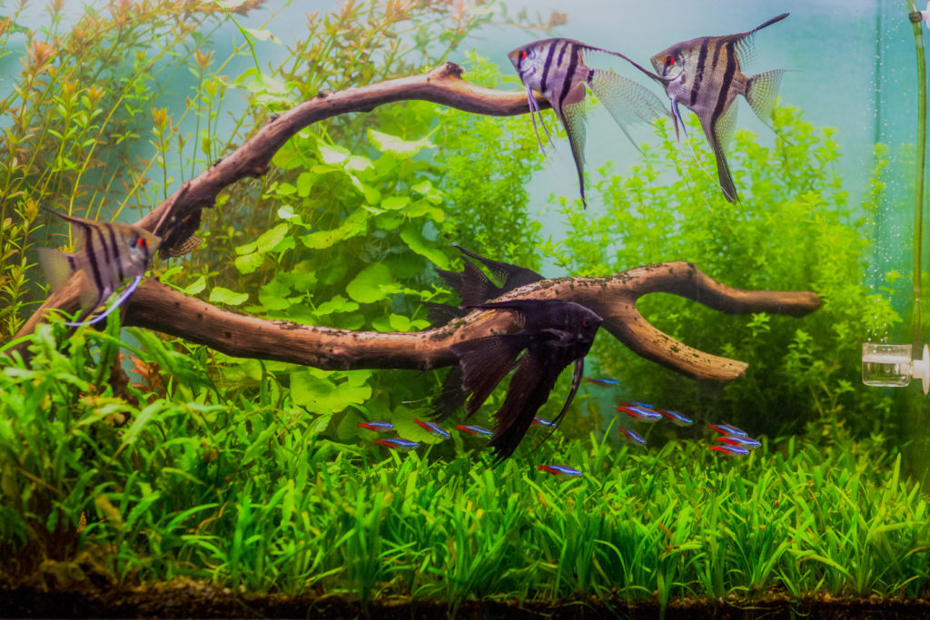 skalare aquarium