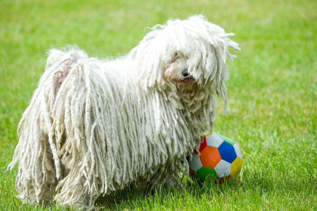 weiß puli spielt mit ball