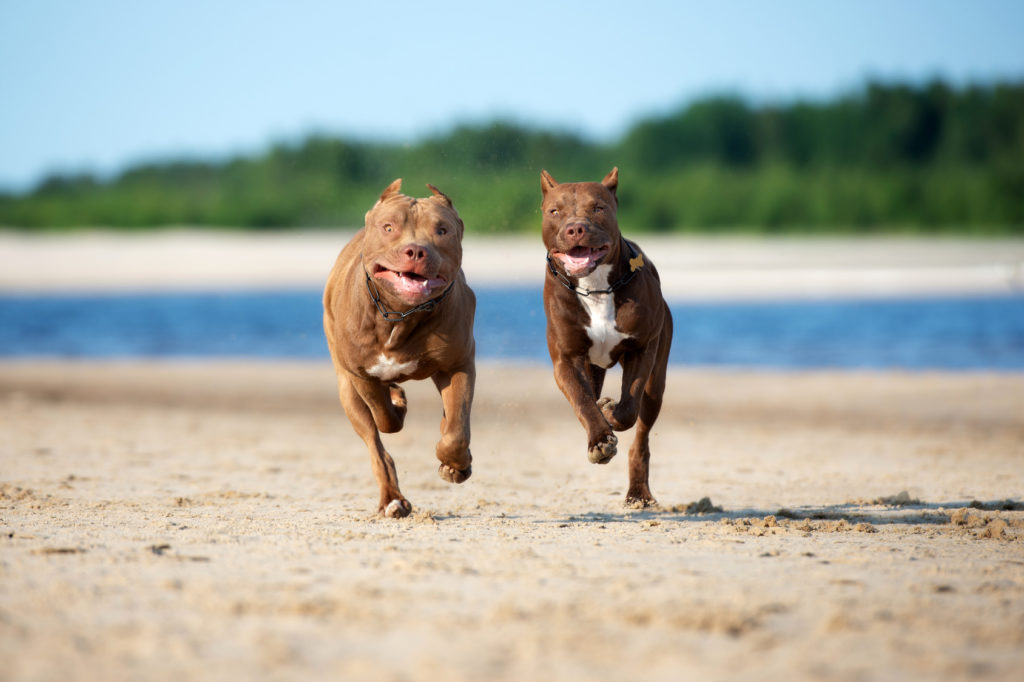 zwei american pit bull terrier meer
