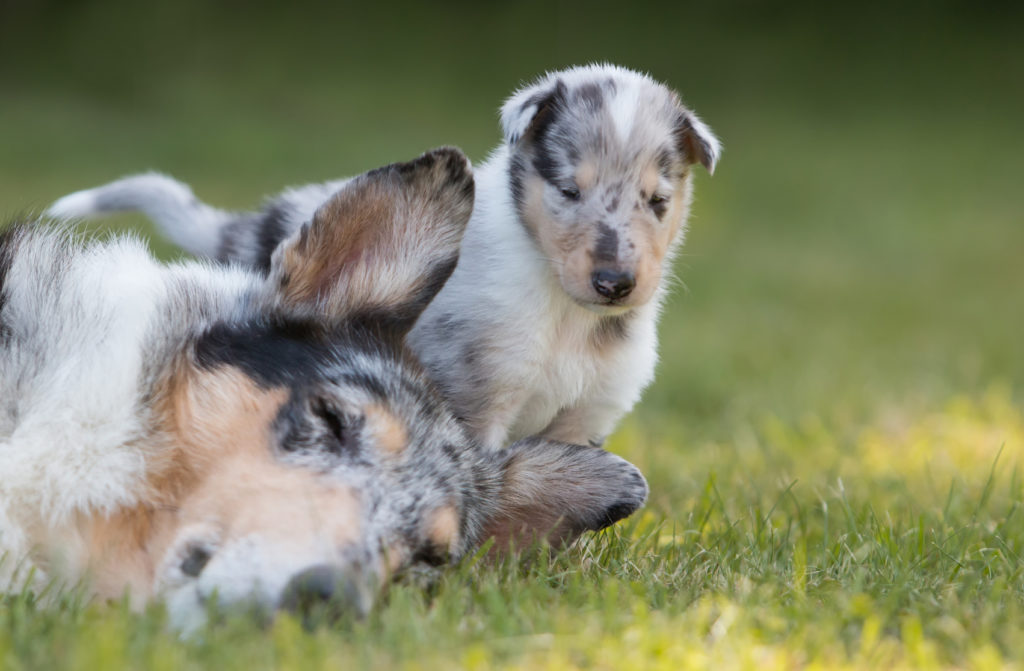 Blue Merle Kurzhaarcollie Mutter mit Welpe