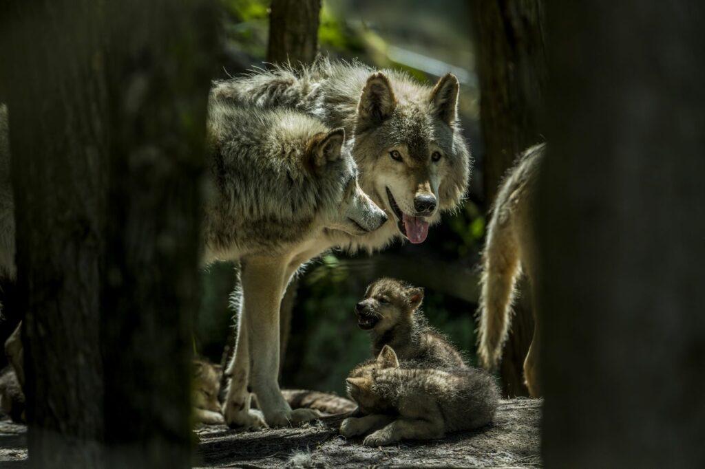 Welpenschutz bei Wölfen