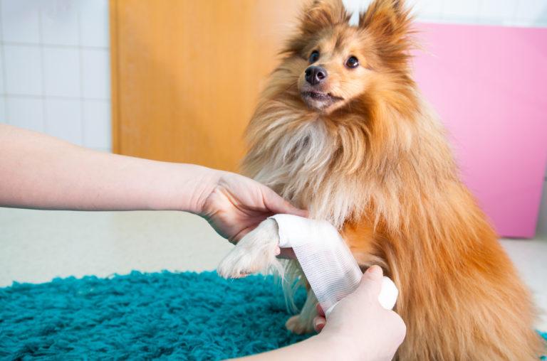 erste hilfe sheltie hund