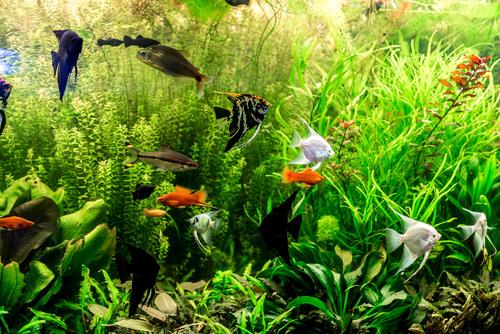 Süßwasserfische in Aquarium