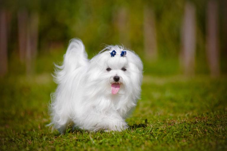 Malteser Hund mit blauer Schleife auf dem Kopf