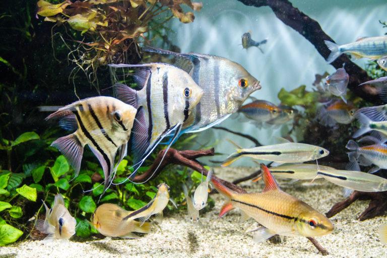 süßwasserfische im aquarium