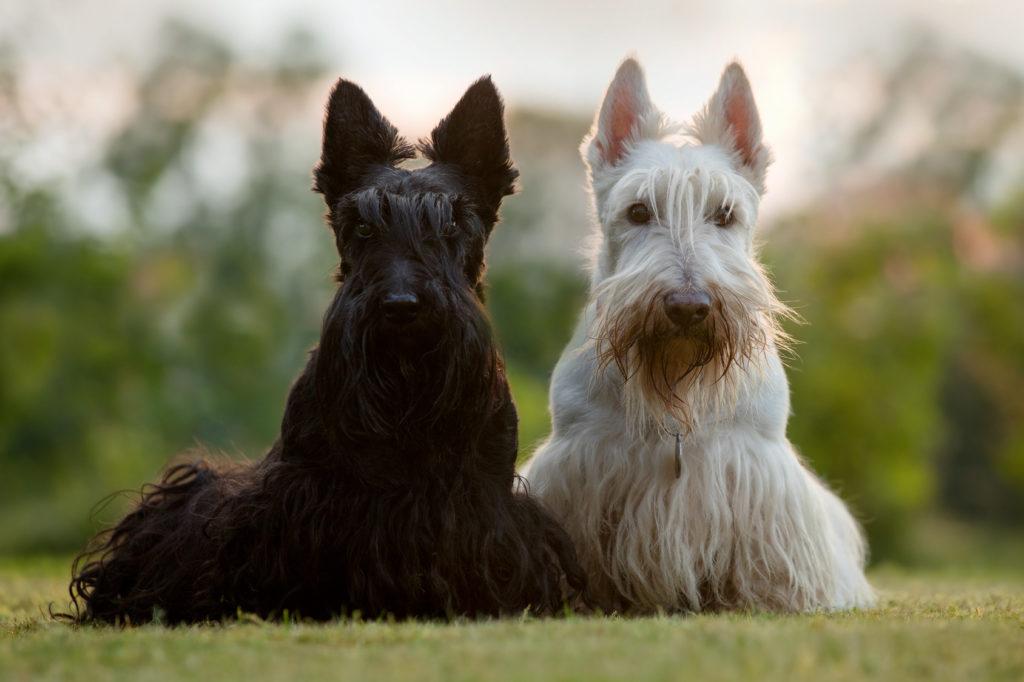 schwarz und weiß scottish terrier