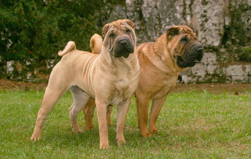 zwei shar pei hunde im grass