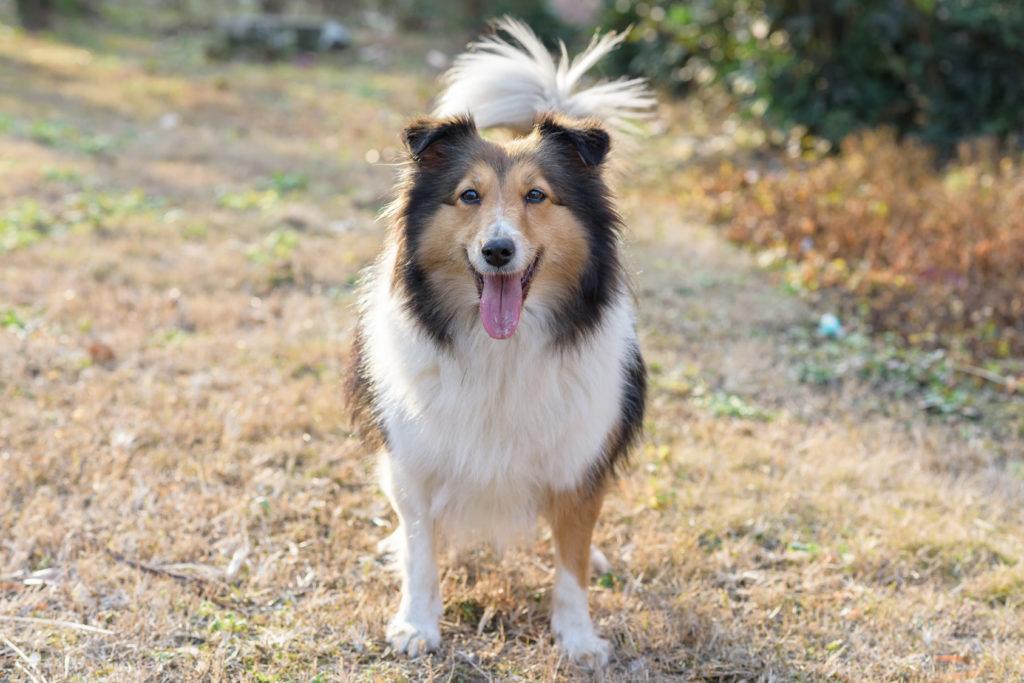 shetland sheepdog lächelt