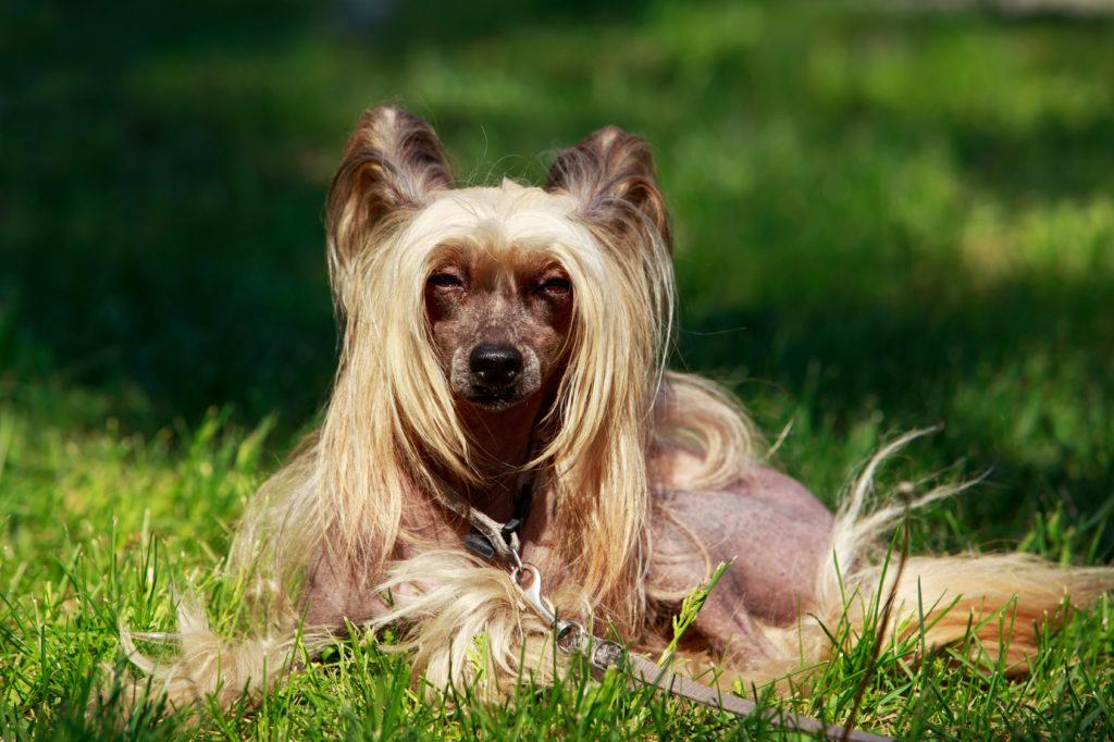 chinesische schopfhund im grass