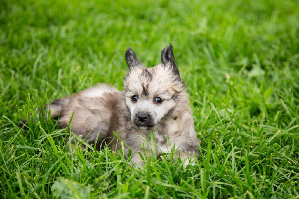 chinesische schopfhund welpe