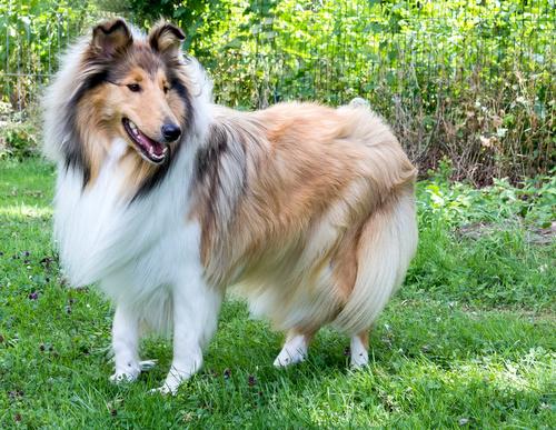 Lassie Dog Breed