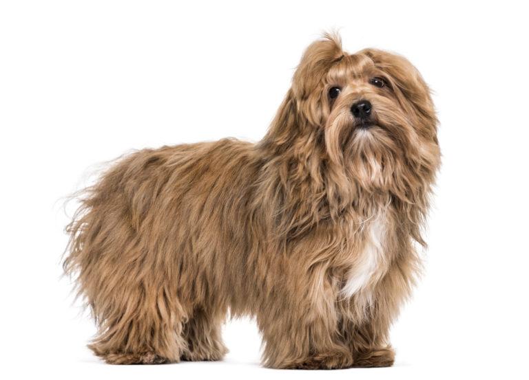 havaneser hund