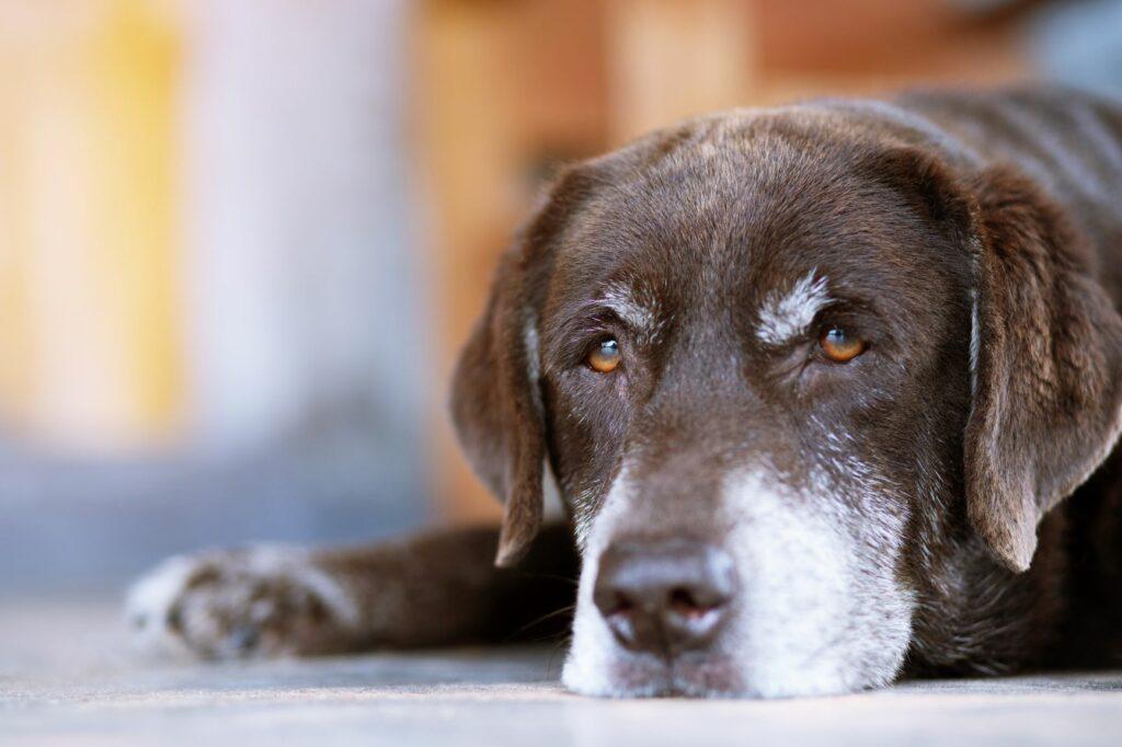 Hund mit traurigem Blick