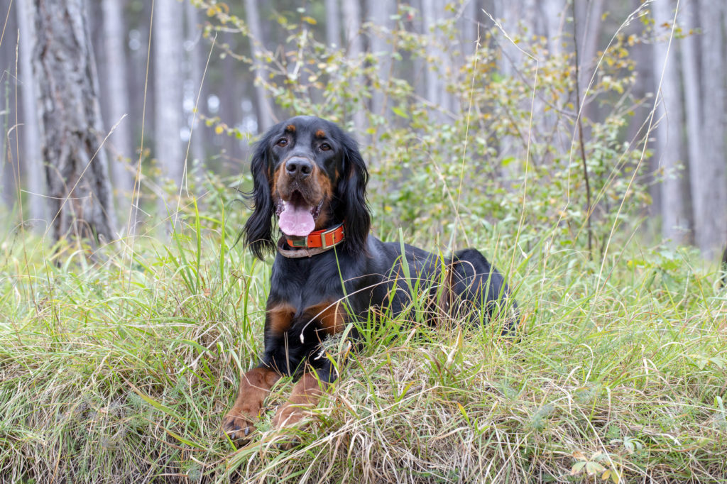 Gordon Setter Jagdhündin im Wald auf Abruf