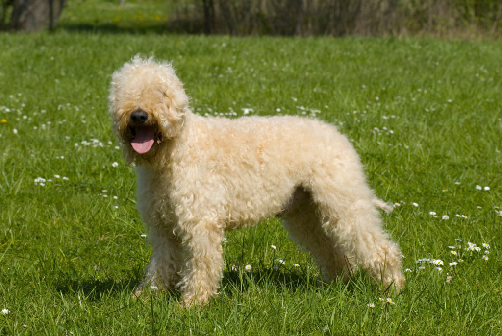 Irish Soft Coated Wheaten Terrier Charakter Haltung Pflege Zooplus