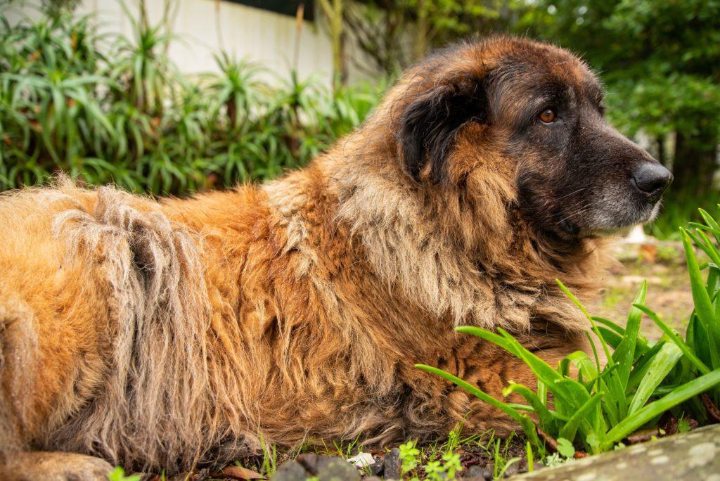 Serra da Estrela Berghund im grass