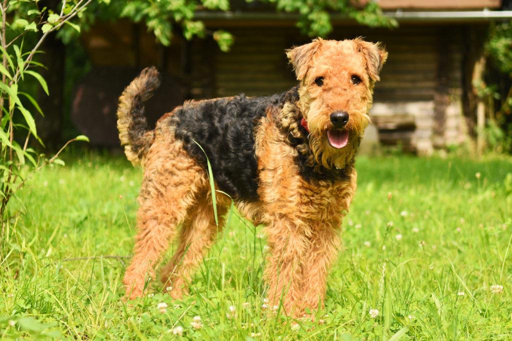 airedale terrier im grass