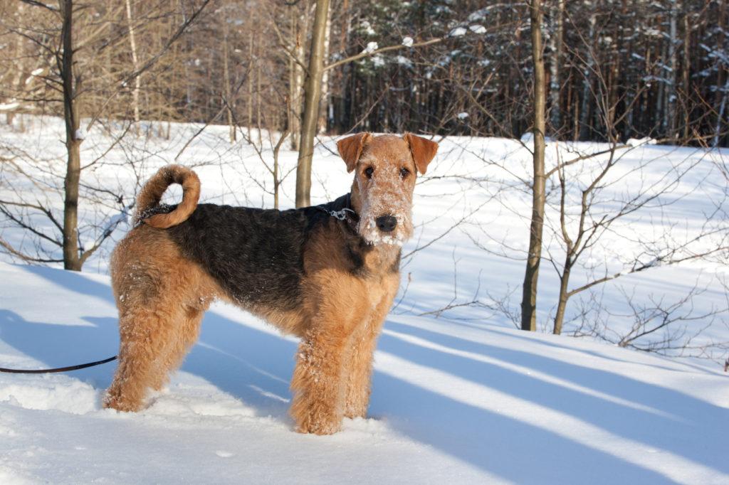 airedale terrier schnee