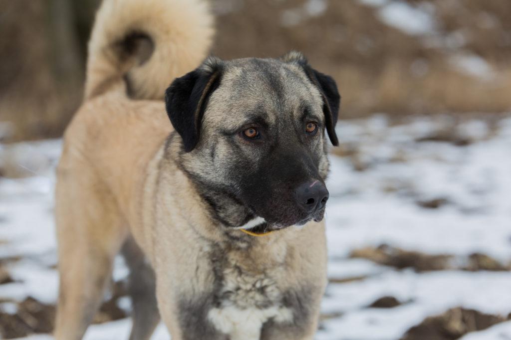 Roar Like A Kangal Kangal Dog Large Dog Breeds Dog Breeds