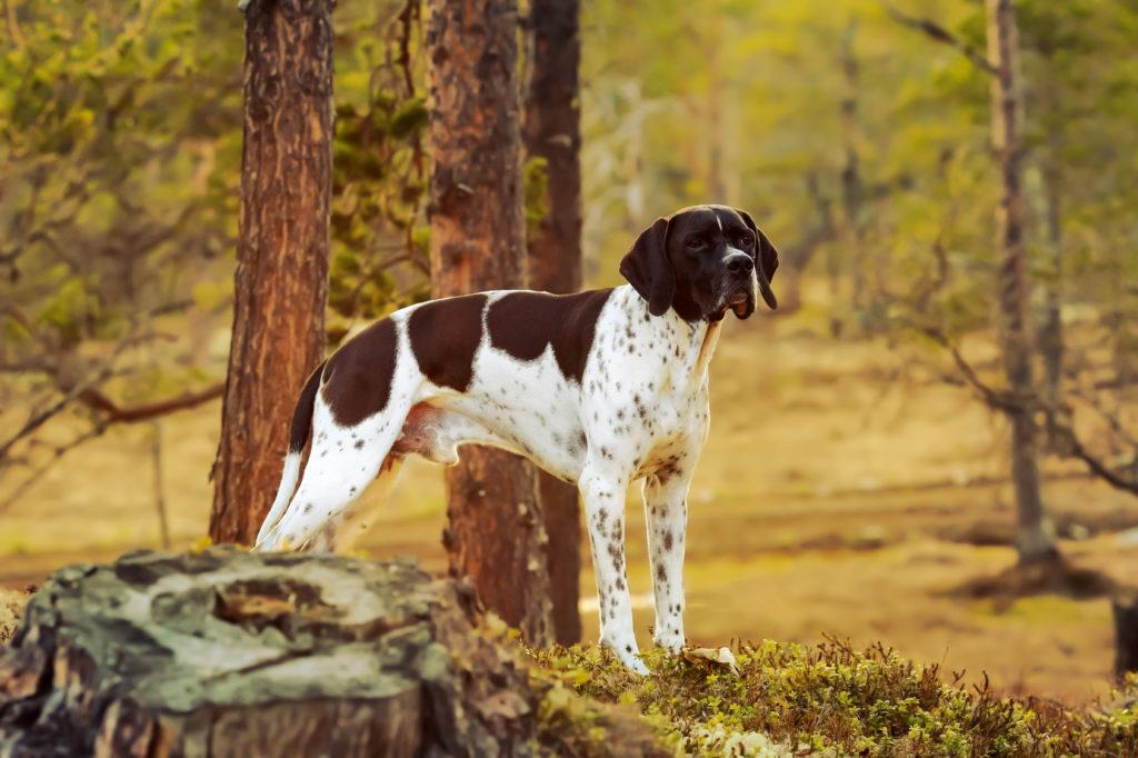 english pointer hund