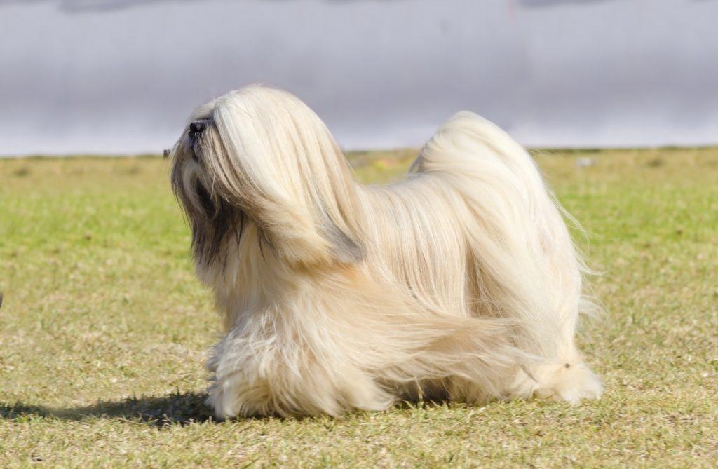 lhasa apso im grass