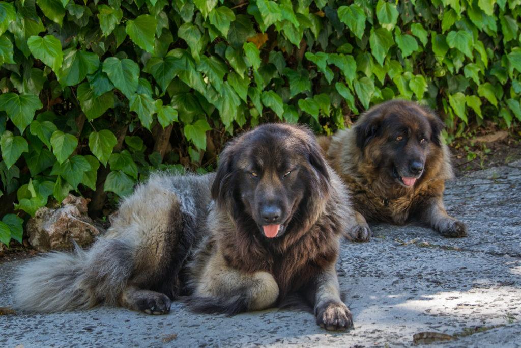 zwei serra da estrela berghunde