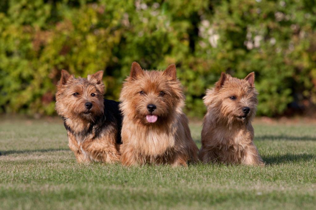drei junge norwich terrier
