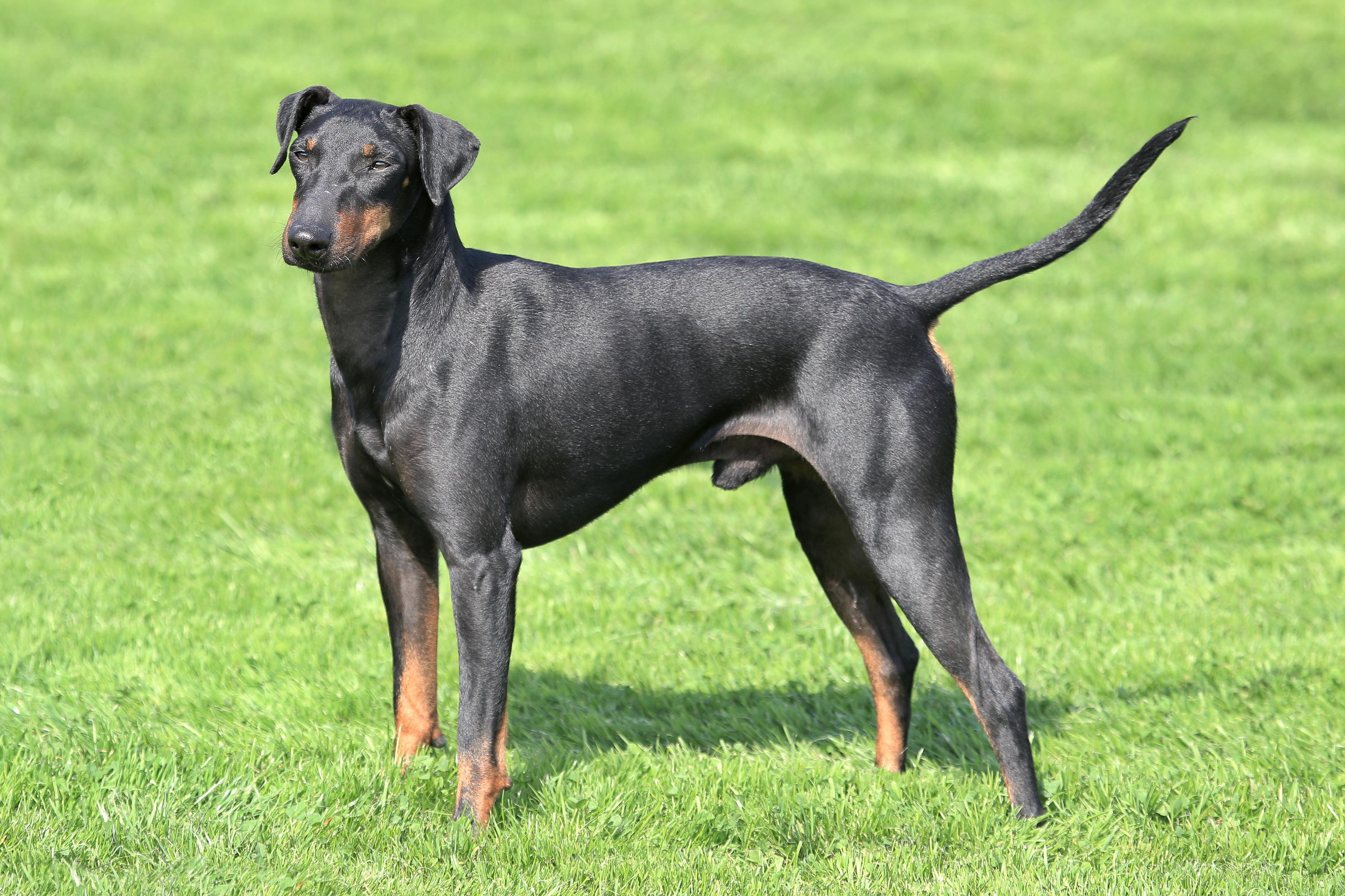Manchester Terrier Charakter, Haltung & Pflege