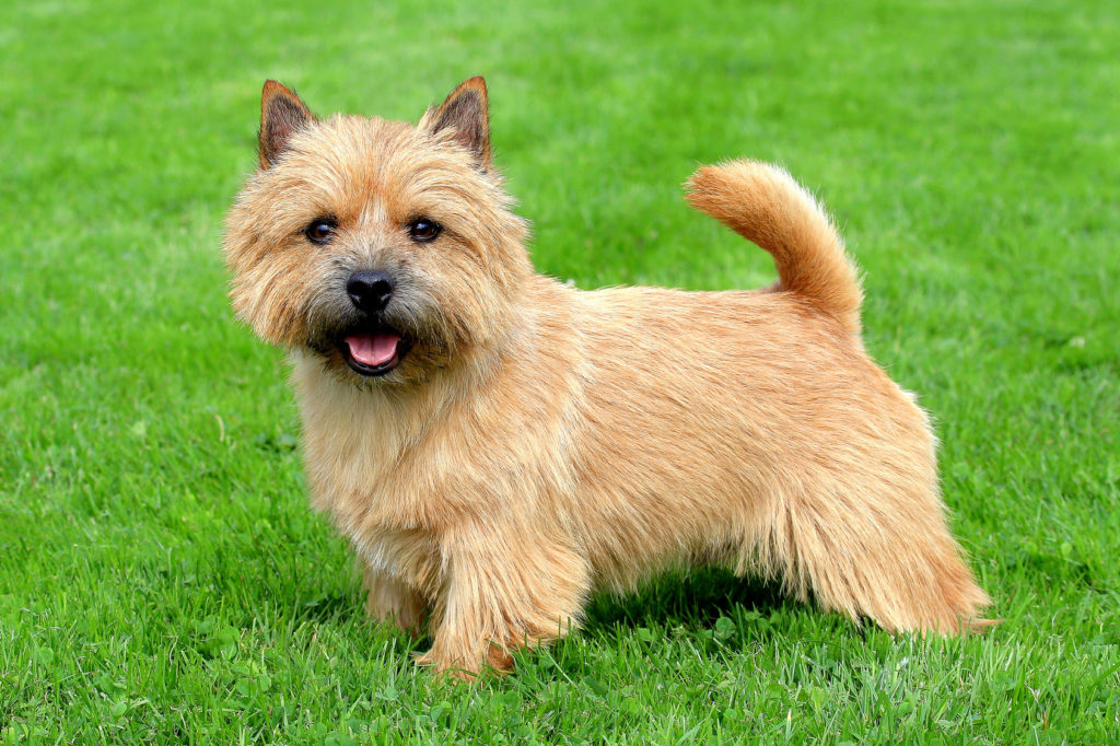 norwich terrier im grass