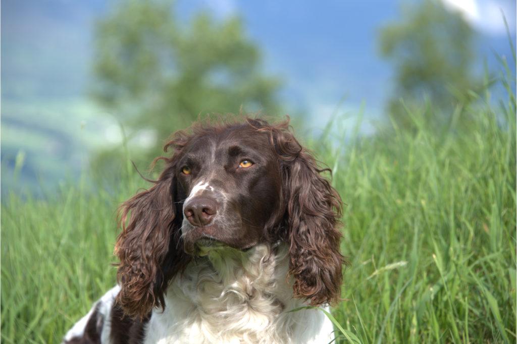deutscher wachtelhund portrait