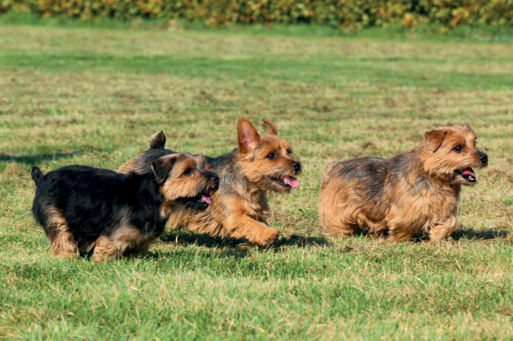 drei norfolk terriern im grass