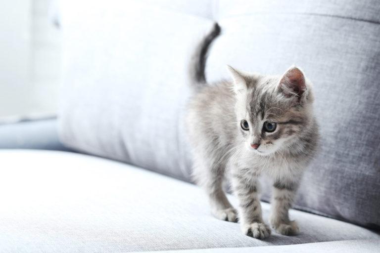 Graues Kätzchen auf grauer Couch