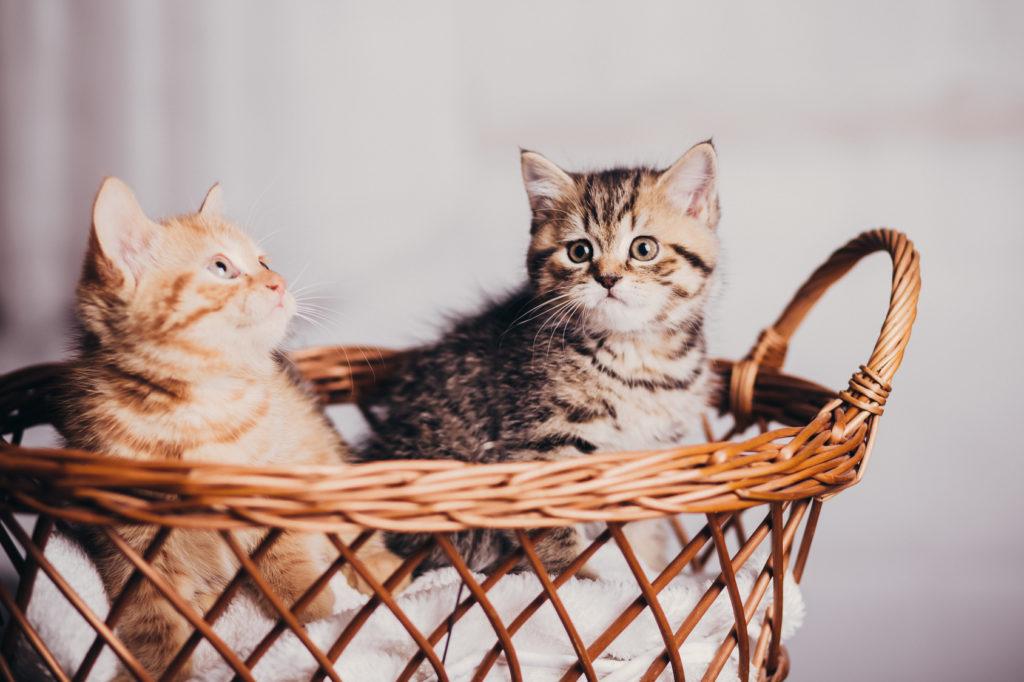 Zwei Kitten im Korb