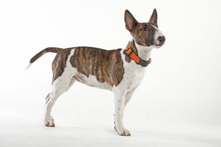 Miniature Bull Terrier Charakter Haltung Pflege Zooplus