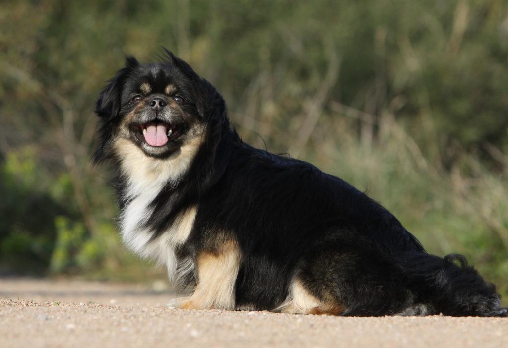 schwarz tibet spaniel