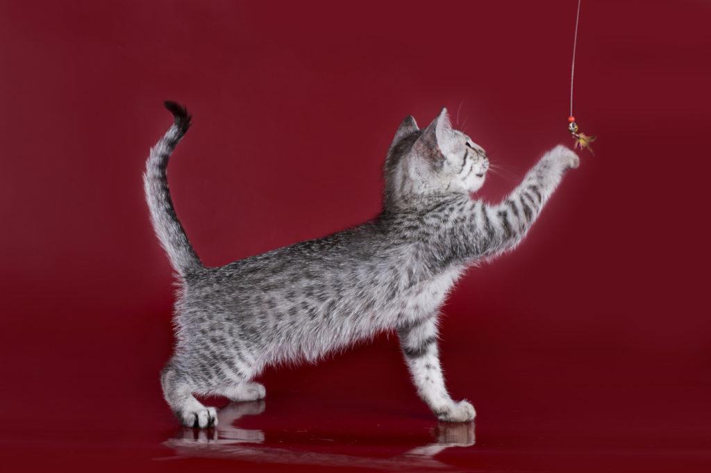 ägyptische mau kitten