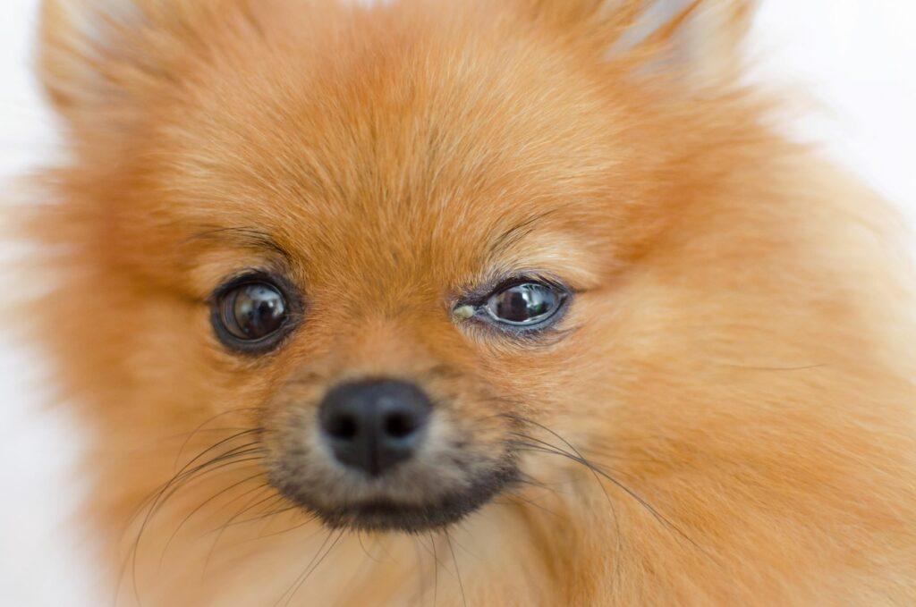 Hund mit Bindehautentzündung