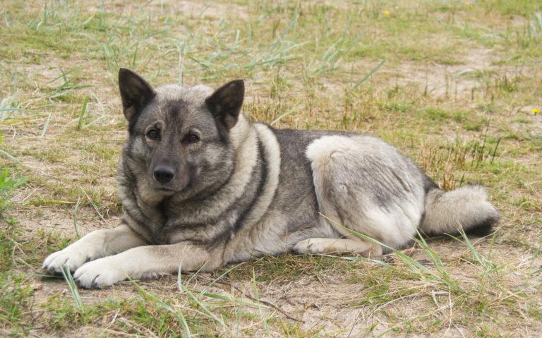 Norwegische Elchhund (grau)
