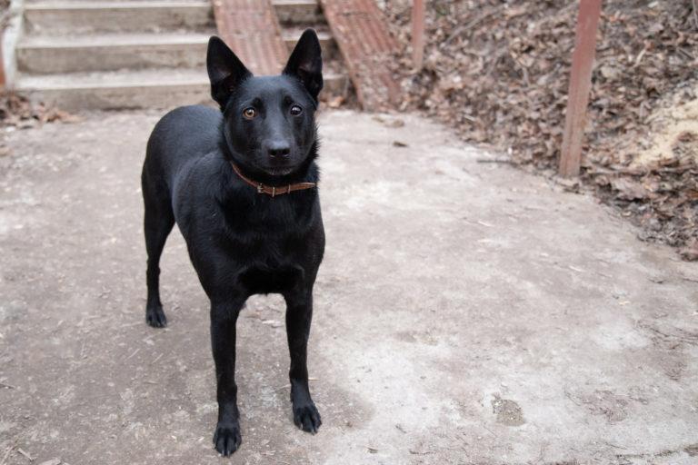 Norwegische Elchhund (schwarz)