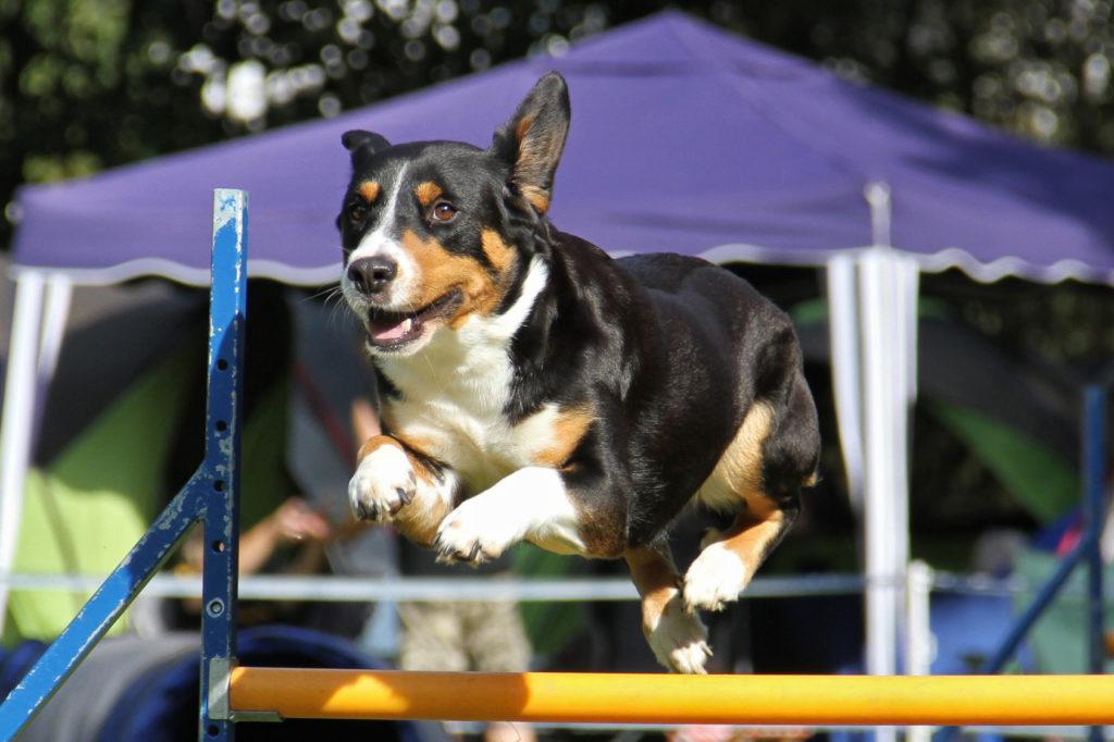 entlebucher sennenhund agility