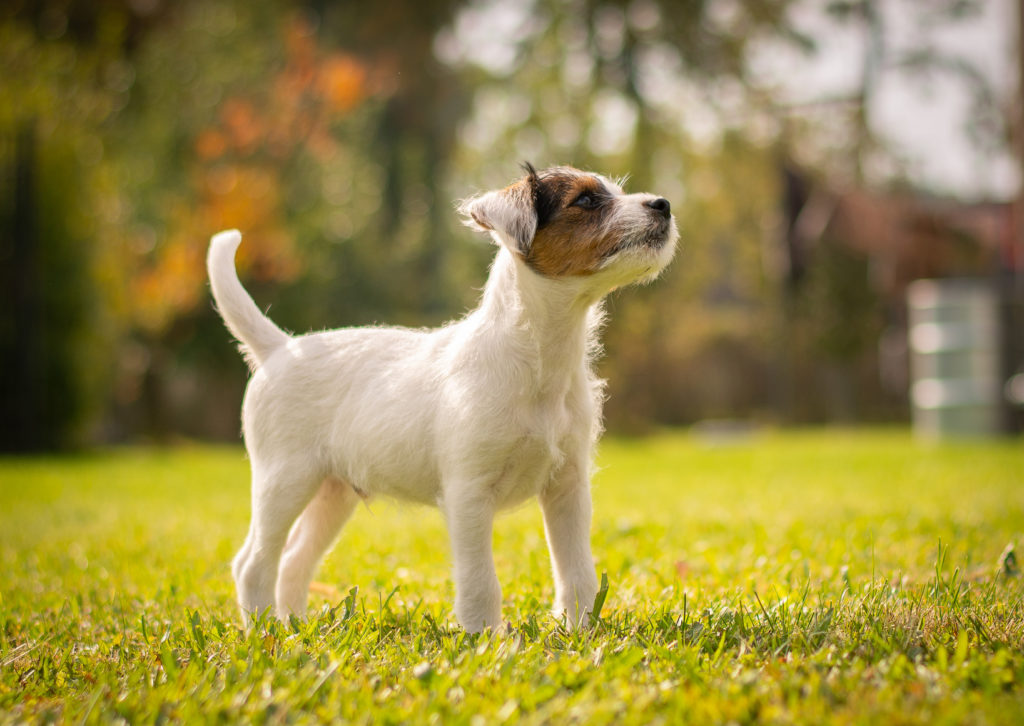 parson russel terrier welpe im grass