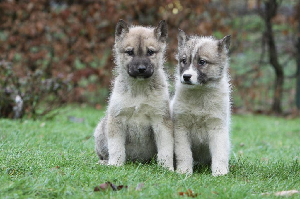 zwei grönlandhund welpen