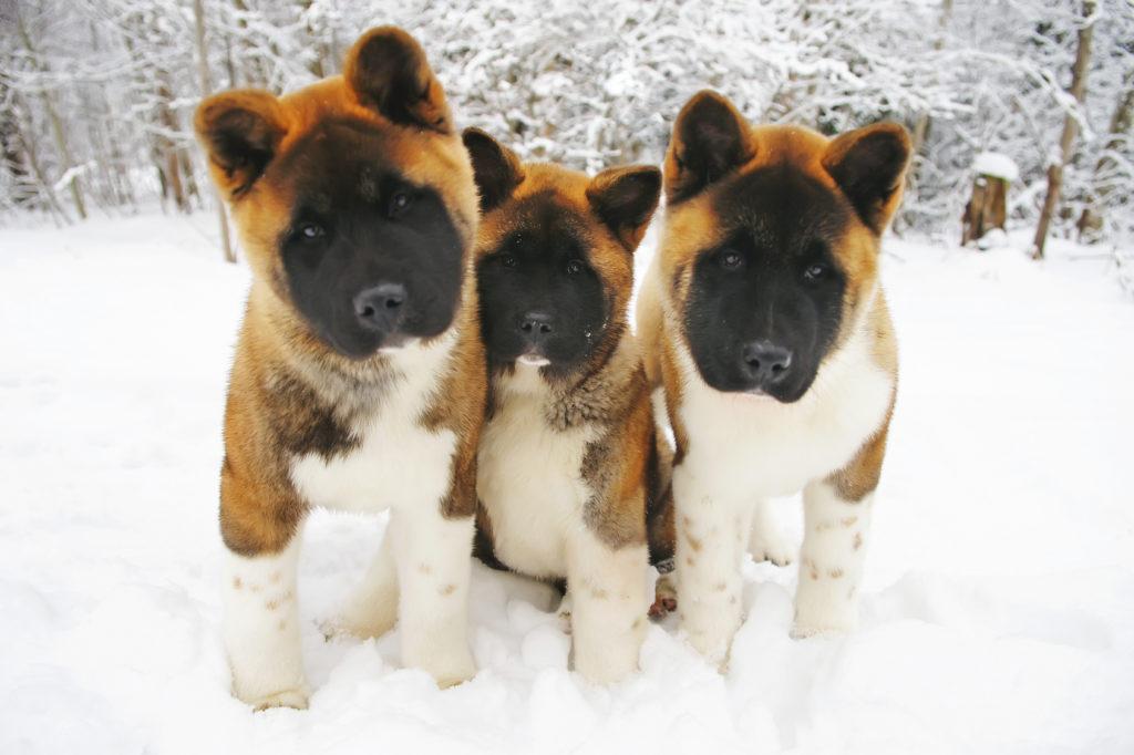 3 american akita welpen im schnee