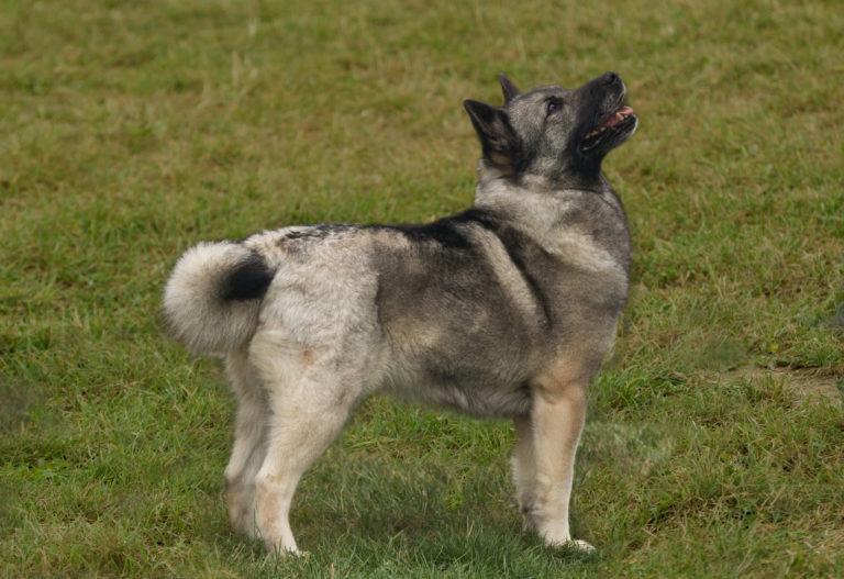 Norwegische Buhund