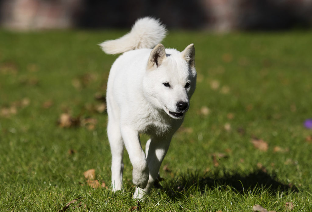 hokkaido hund weiß
