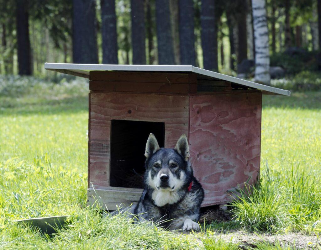 Ein Jämthund liegt vor seiner Hundehütte