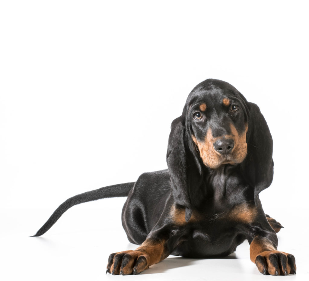 Black and Tan Coonhound welpe