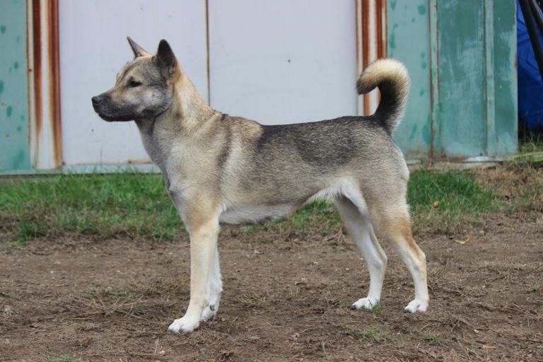 Kishu Ken Hund